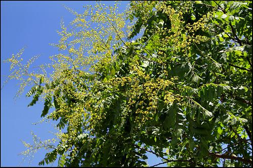 Koelreuteria paniculata (3)