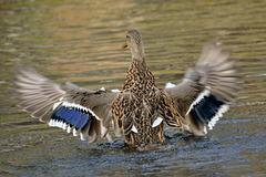 st bruno duck CSC 4300