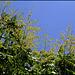 Koelreuteria paniculata (4)