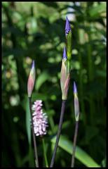 Iris x robusta 'Gerald Derby' (1)