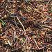 Ameisen (PiP)