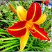 Taglilie (Hemerocallis). ©UdoSm