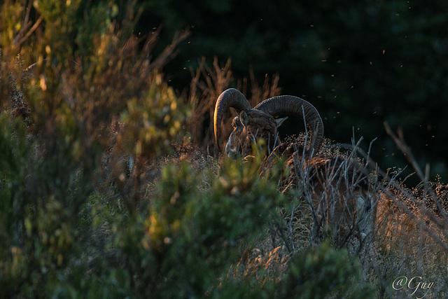 IMG 7483 Mouflon