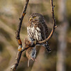 Northern Pygmy-owl with snack