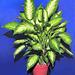 """Dieffenbachia (""""Dumb Cane"""")."""