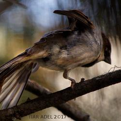 The acrobat bird