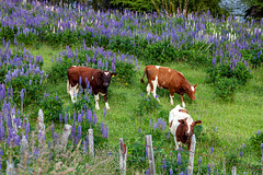 happy cattle - HFF!
