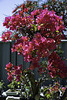 Back lit leaves on Red Flame  Bougainvillea
