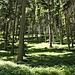 Heidelbeerwald - blueberry forrest - foret de myrtilles