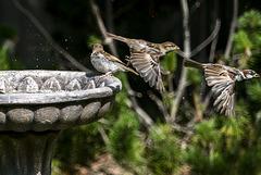 Sparrows at the Birdbath