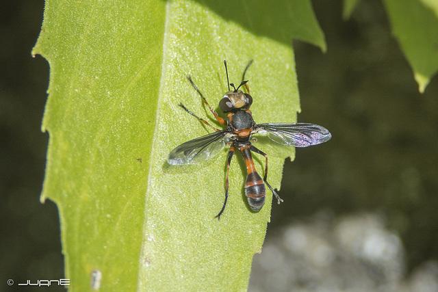Physocephala biguttata.
