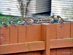 Sparrow Fence Sitters.