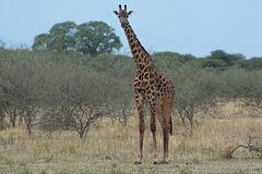 Tarangire, The Giraffe
