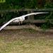 Gull flight photo 1
