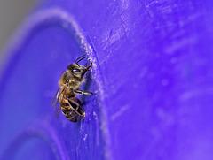 Bee on Purple