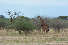 Tarangire, Two Giraffes in the Savannah
