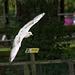 Gull flight photo 2