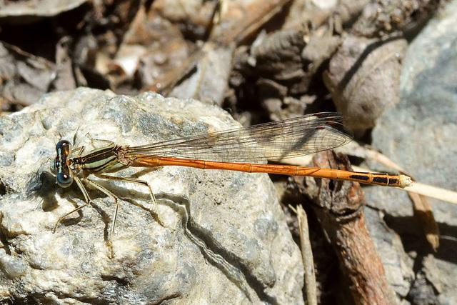 Orange Featherleg f (Platycnemis acutipennis)