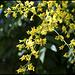 Koelreuteria paniculata (7)