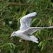 Gull flight photo 4
