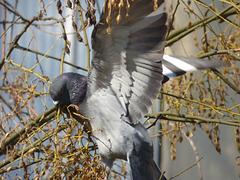 Paloma con alas abiertas