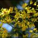 Koelreuteria paniculata (8)