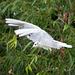 Gull flight photo 5