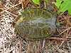 Eastern River Cooter (Pseudemys concinna)