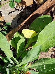 Small Grass Yellow Eurema smilax f
