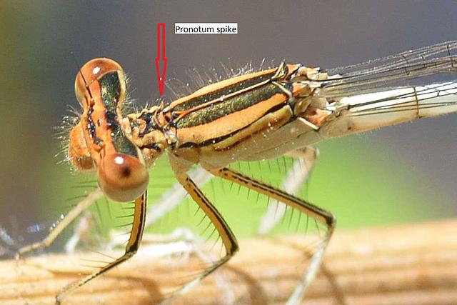 Orange Featherleg f pronotum spike (Platycnemis acutipennis)