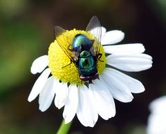 Schmeißfliege auf einer Blüte