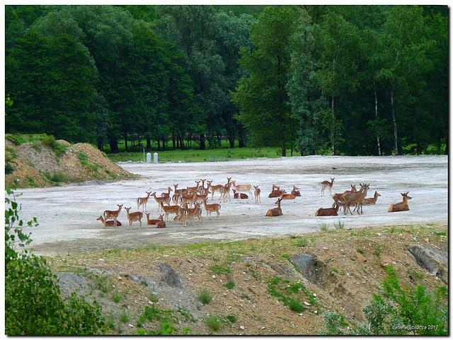Cervi e cerbiatti-Deers and fawns