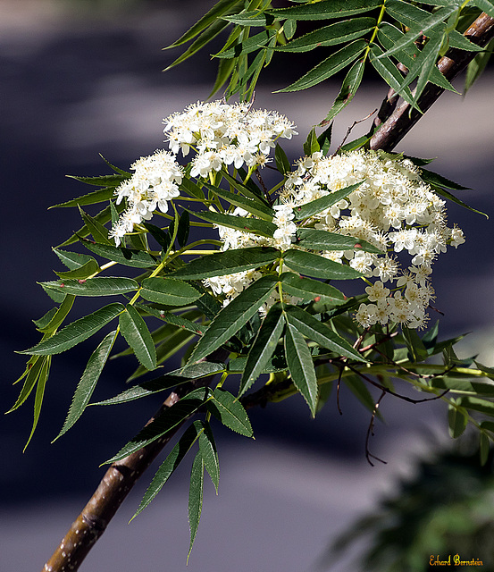 Baum vorm Fenster: die Blüten sind da!