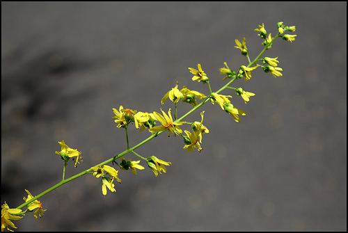 Koelreuteria paniculata (1)