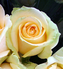 Y like pale YELLOW rose