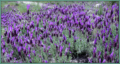 Wild Spanish lavender (this one's for Pam too)