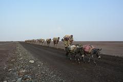 Ethiopia, Danakil Depression, Caravan for the Transportation of Salt Mined in the Karum Salt Marshes