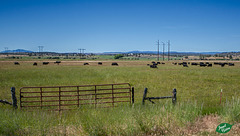 Pictures for Pam, Day 118: HFF: Cattle & Gate