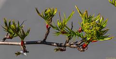 Baum vorm Fenster: der Frühling zeigt Wirkung (PiP)