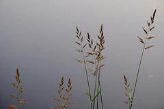 Gräser am Wasser