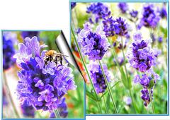 Lavendel... ©UdoSm