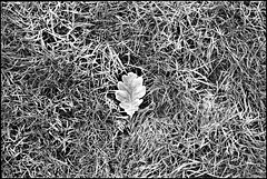 Frosted leaf,