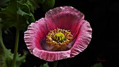 Schlafmohn* ... jetzt gehen die Blüten auf ... (PiP)
