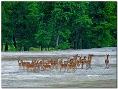 My first herd of deer