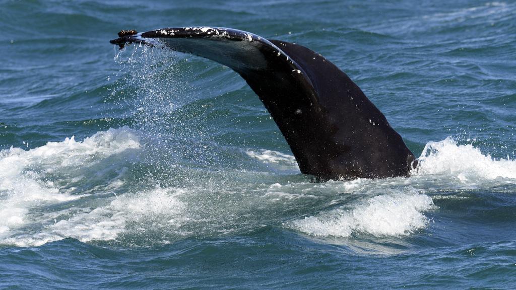 Humpback whale, Skjálfandi  DSC3374