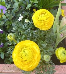 Ranunkulus - Blüten - groß und klein - floroj - grandaj kaj malgrandaj