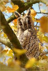 Long-eared Owl ~ Ransuil (Asio otus), 2...