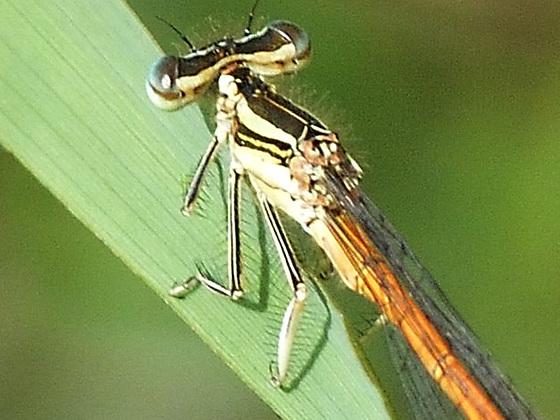 Orange Featherleg m legs (Platycnemis acutipennis)