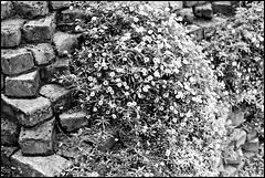 Wallflowers.