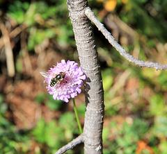 Schwebfliege auf Witwenblume (Geißblattgewächs)